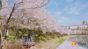 เช็คก่อนเที่ยว!! พยากรณ์ดอกไม้บาน ประเทศเกาหลี ปี 2018