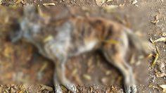 'หมาป่า' เขาสอยดาว ขย้ำชาวบ้านมิดเขี้ยว เจ็บ 5 ราย