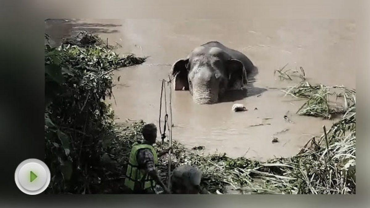 ช้างป่าพลัดตกน้ำ ก่อนถูกซัดพามาติดในคลองชมพู จ.พิษณุโลก 17/10/60