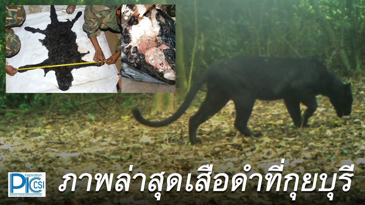 ภาพถ่ายเสือดำที่กุยบุรีเมื่อ 4 เดือนที่แล้ว