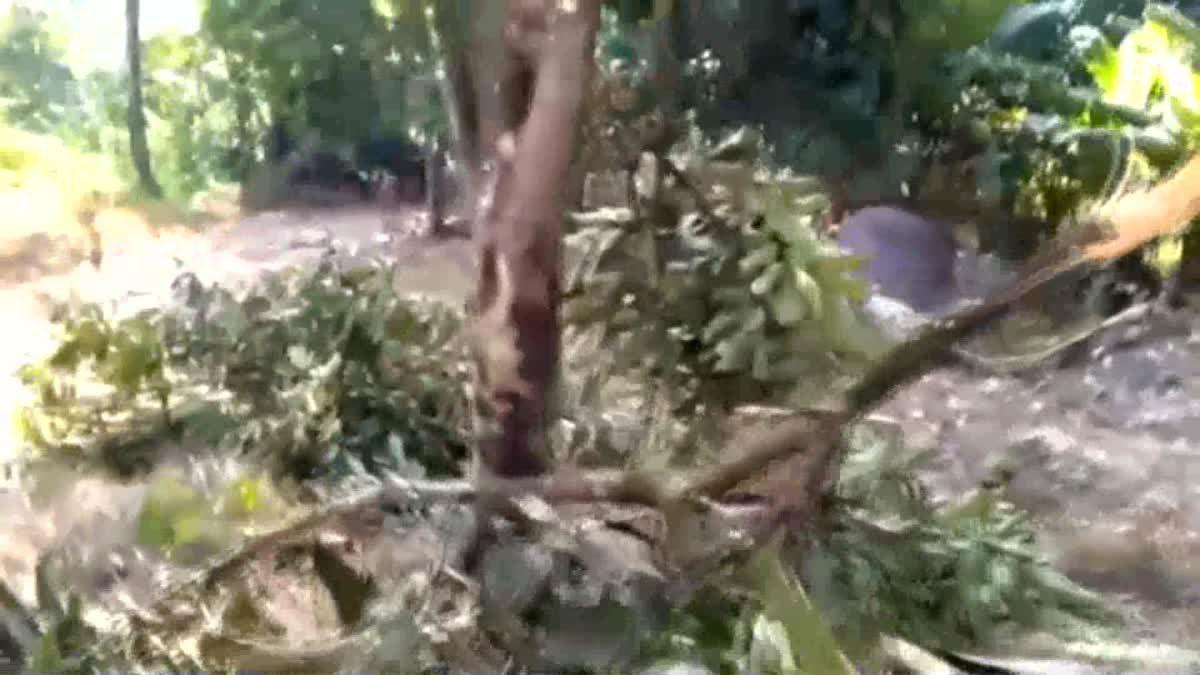 ช้างป่าเขาหลวง ยกโขลงบุกทำลาย สวนผลไม้ชาวบ้านพังยับเยิน