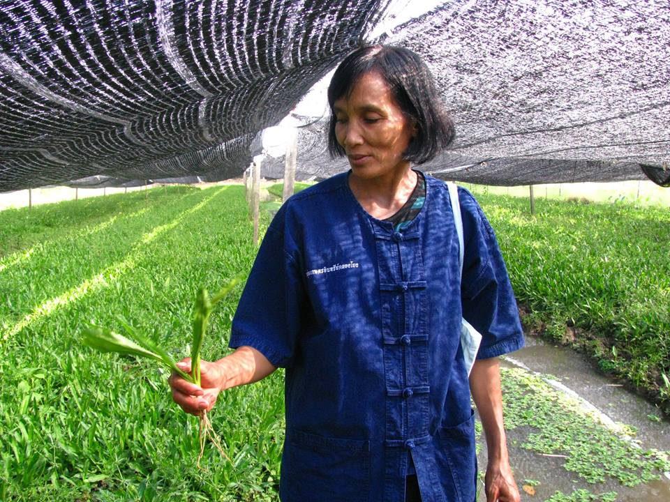 ผักชีฝรั่ง, เกษตรกรก้าวหน้า