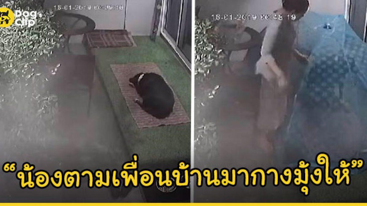 น้องหมาแสนรู้วิ่งไปเรียกเพื่อนบ้านมาช่วยกางมุ้งให้ หลังโดนยุงกัดระหว่างเจ้านายไม่อยู่บ้าน
