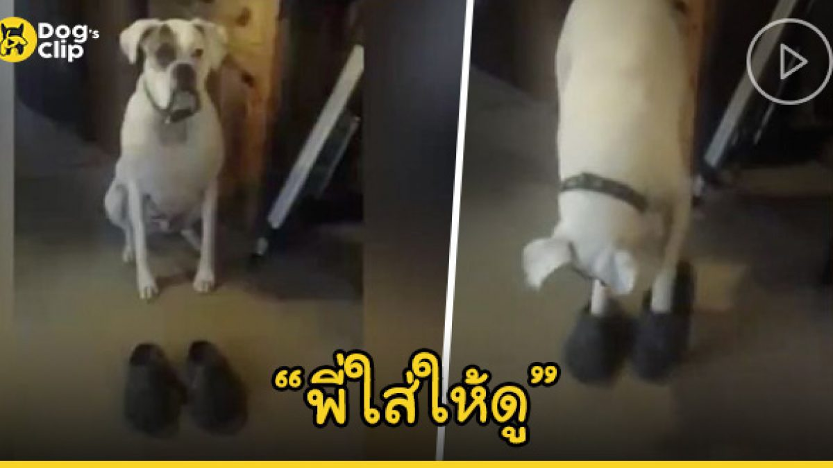 น้องหมากำลังสนุกเมื่อได้สวมรองเท้าแบบมนุษย์