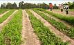 ชาวไร่มันปลูกผักปลอดสารพิษเพิ่มรายได้