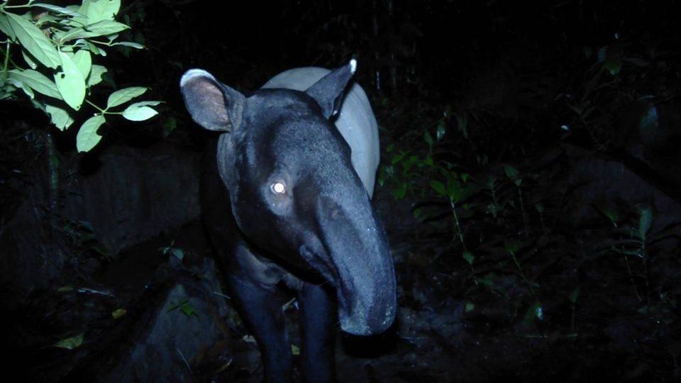 เปิดภาพ สมเสร็จ สัตว์ป่าสงวนโผล่เล่นกล้อง ที่ ลำคลองงู