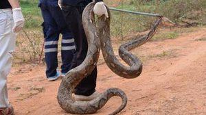 ฮือฮา! ชาวบ้านแห่ดู งูเหลือมยักษ์ หนักราว 50 กก.