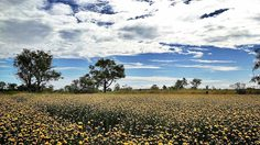ทุ่งกระดุมทอง ดอกไม้เหลืองพริ้วไสว ที่เที่ยวอันซีนแห่งใหม่ จ.อุบลราชธานี