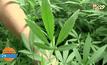 ปลดล็อคพืชกัญชา เพื่อทำยาหรือสนองตัณหาผู้เสพ
