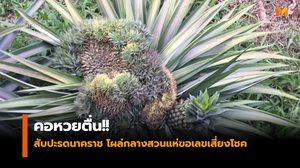 คอหวยตื่น!! สับปะรดนาคราช โผล่กลางสวนแห่ขอเลขเสี่ยงโชค