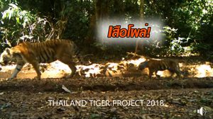 ภาพเสือโคร่ง – ลูกน้อย โผล่ในป่าทุ่งใหญ่ฯ