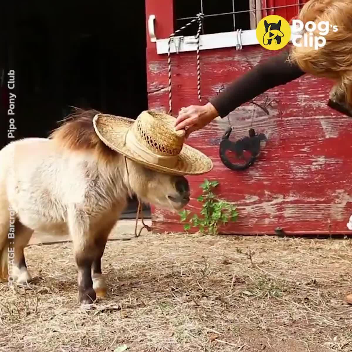 ม้าแคระเชตแลนด์ โตกว่าแมวนิดเดียวเอง