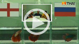ซี้ซั้วฟันธง! ปลากัดทายผล ยูโร 2016 อังกฤษ ปะทะ รัสเซีย (11 มิ.ย.)