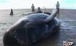 วาฬเกยตื้น 30 ตัวในป่าชายเลน อินโดฯ