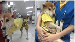 ฟ้าหลังฝน อัพเดทอาการล่าสุด !  'ลอยด์' สุนัขชิบะถูกคนใจบาปตัดขา
