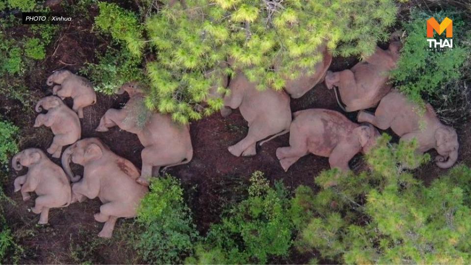 จีนเตรียมต้อน 'โขลงช้างป่ายูนนาน' สู่ถิ่นอาศัยเหมาะสม