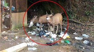 ไม่พร้อมก็ให้อยู่บ้าน! ภาพเศร้ากวางกินเศษขยะพลาสติก จากนักท่องเที่ยวทิ้งไว้
