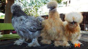'ไก่ซิลค์กี้' สัตว์เลี้ยงเทรนด์ใหม่สร้างรายได้ครึ่งแสนต่อเดือน!!