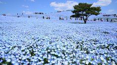 พาชม ทุ่งเนโมฟีล่า ดอกสีฟ้า ที่ญี่ปุ่น พิกัดน่าเที่ยวใกล้โตเกียว!