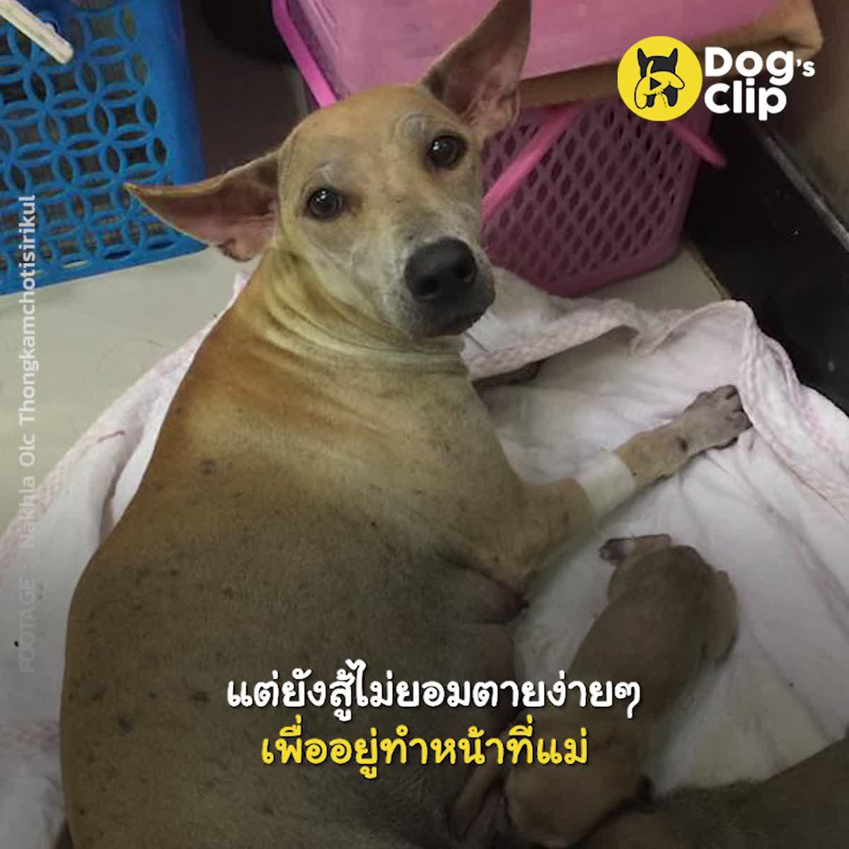 น้องหมาแม่ลูกอ่อนถูกรถชนหลังหัก ซ้ำร้ายยังถูกเจ้าของนำมาทิ้งวัด แต่ยังสู้ไม่ยอมตายง่ายๆเพื่ออยู่ทำหน้าที่แม่ | Dog's Clip