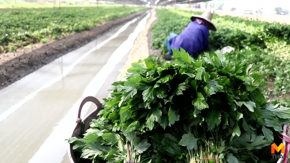 'จิงจูฉ่าย' พืชผักสมุนไพรปลูกง่าย สร้างรายได้หลักแสนต่อเดือน