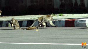 สลด!! ลูกลิงถูกรถชนตาย แม่ลิงลากลูกมาจากกลางถนนเฝ้าไม่ห่าง