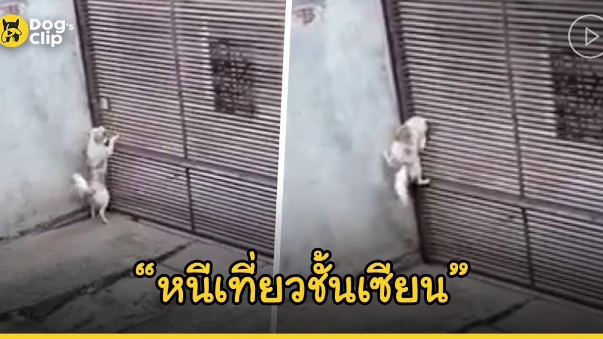 เจ้านายแอบตั้งกล้องเพื่อดูว่าน้องหมาตัวน้อยของเธอแบบหนีออกจากบ้านได้อย่างไร