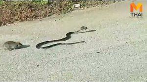 ชาวเน็ตสุดอึ้ง! คลิปแม่หนูวิ่งไล่กัดต่อสู้กับงู เพื่อช่วยลูกให้ปลอดภัย