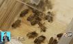 นักวิทยาศาสตร์พัฒนายาแก้ปัญหาผึ้งลดลง