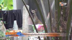 ชาวบ้านหวาดกลัว! เรียกร้องให้กำจัดฝูงของสุนัข ที่ติดเชื้อพิษสุนัขบ้ากัดทารกสาหัส