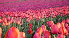 ชมความงาม ของ ทุ่งดอกทิวลิป