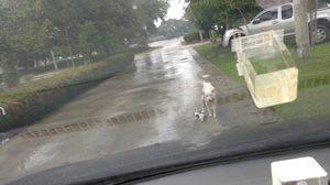 ซึ้ง! ภาพประทับใจ แม่สุนัขคาบลูก ดักรถขอความช่วยเหลือ