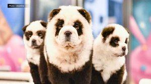 วิจารณ์ยับ ! คาเฟ่สัตว์ในจีน จับสุนัขย้อมสีให้ดูเหมือนหมีแพนด้า