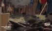 แข่งขันขว้างมูลวัวในรัสเซีย