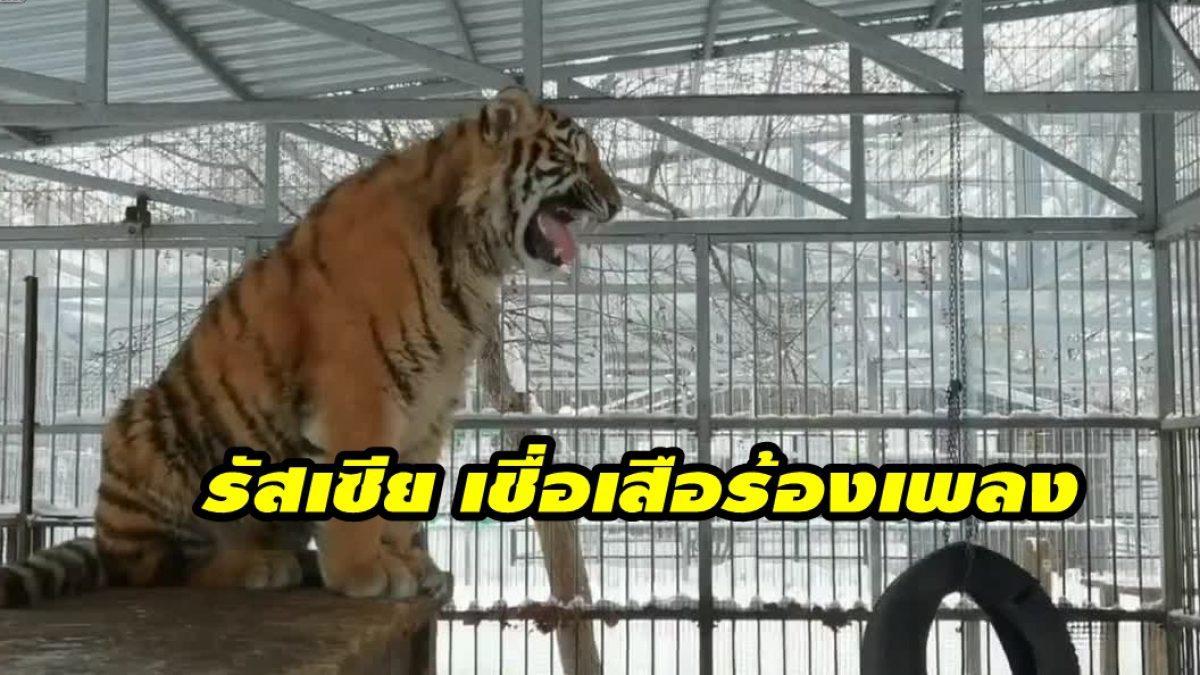 ผู้คนแห่ชม! เสือไซบีเรีย ส่งเสียงคล้ายร้องเพลง ในสวนสัตว์ที่รัสเซีย