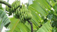 ประโยชน์ของ ต้นกล้วย ไม้มงคลที่นิยมปลูกไว้ในบ้าน