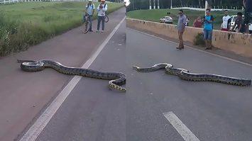 ชาวบ้านในบราซิลพร้อมใจกันหยุดรถ เพื่อเปิดทางให้งูยักษ์ อนาคอนดา เลื้อยข้ามถนน