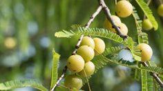 วิธีการปลูกและวิธีการดูแล ต้นมะขามป้อม ต้นไม้ประจำจังหวัดสระแก้ว