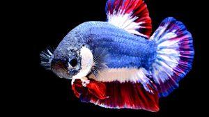 ครม.ไฟเขียว 'ปลากัดไทย' เป็นสัตว์น้ำประจำชาติ
