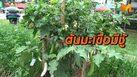 ต้นมะเขือพวงมีชู้ ออกลูกเป็นมะเขือเทศ – มะเขือเปาะ