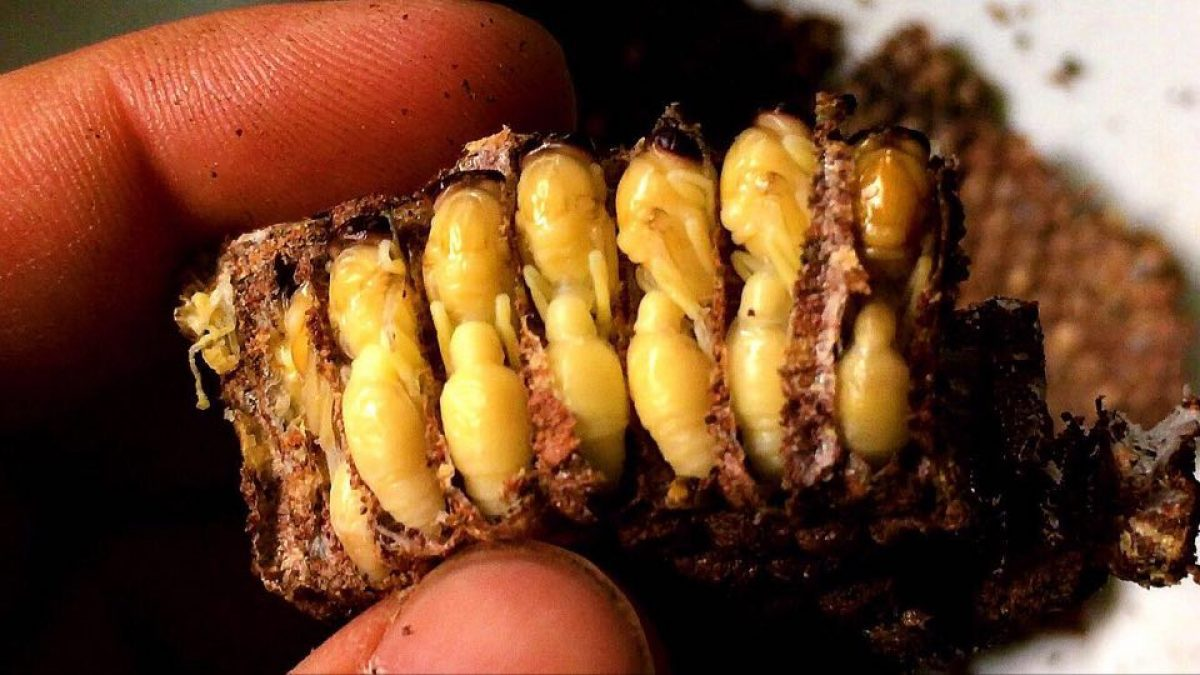 อาหารแปลก! น้ำพริกตัวอ่อนแตน / Chili paste from larvae of hornets
