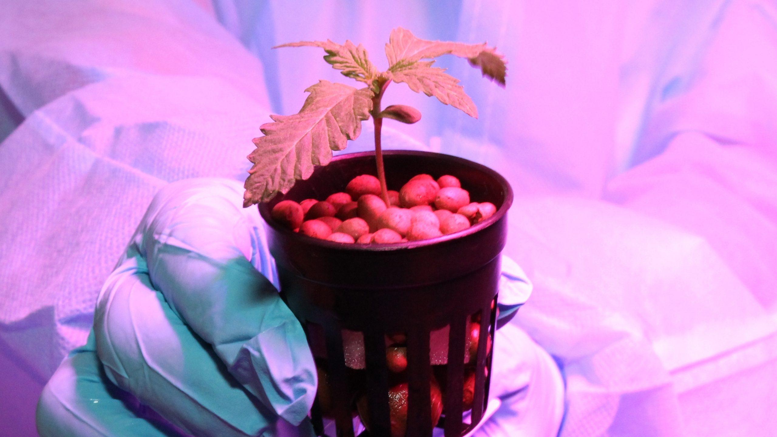 คกก.ยาเสพติด เห็นชอบ โมเดลปลูกกัญชา 6 ต้น นำร่อง จ.บุรีรัมย์