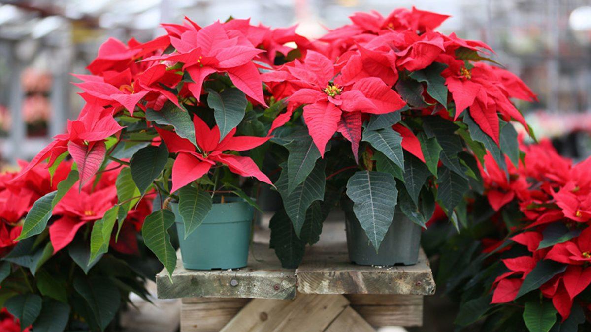 วิธีปลูกต้นคริสต์มาส ไม้ประดับดูดสารพิษ ตั้งในห้องหรือกลางแจ้งก็เลี้ยงรอด