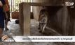 ตรวจสอบเสือโคร่งวัดป่าหลวงตามหาบัว จ.กาญจนบุรี
