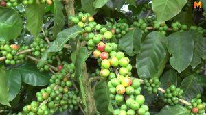 ชมแหล่งผลิตกาแฟชื่อดังอันดับ 1 พะเยา สร้างรายได้ปีละหลายล้านบาท