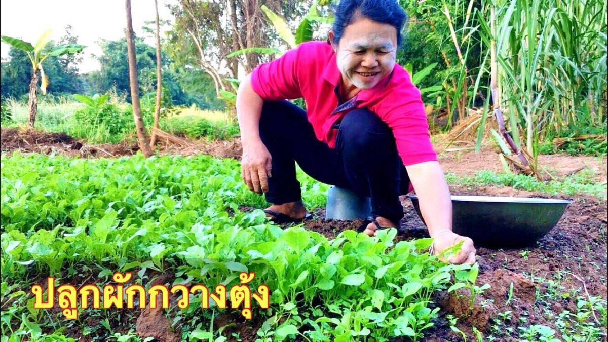 วิธีปลูกผักกวางตุ้ง เพื่อกินต้นอ่อน / How to grow Choy sum to eat seedlings / 如何种菜苗吃