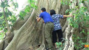 แห่ขอเลขเด็ด! ต้นเรืองยักษ์ อายุ 500 ปี มาเน้นๆ 2 ตัว 3 ตัว