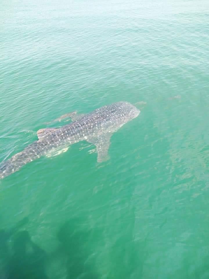 ฉลามวาฬจังหวัดประจวบคีรีขันธ์