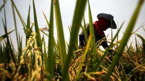 กรมชลฯ ขอความร่วมมือเกษตรกรเร่งเก็บเกี่ยวผลผลิตภายในกลางเดือน ก.ย. นี้