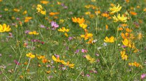 'ทุ่งดอกคอสมอส' บานเหลืองอร่ามรับหน้าร้อน ที่ ลพบุรี ปากทางเข้าเขาจีนแล
